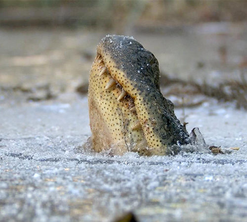 Frozen alligator in a pond - reasons to visit Cancun