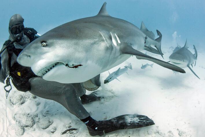 Buceo con tiburones toro Cancún