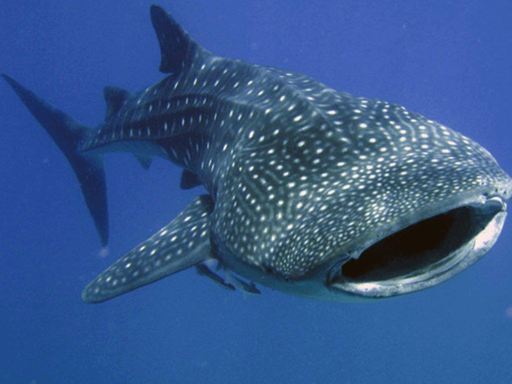 Swim with whale sharks near Cancun