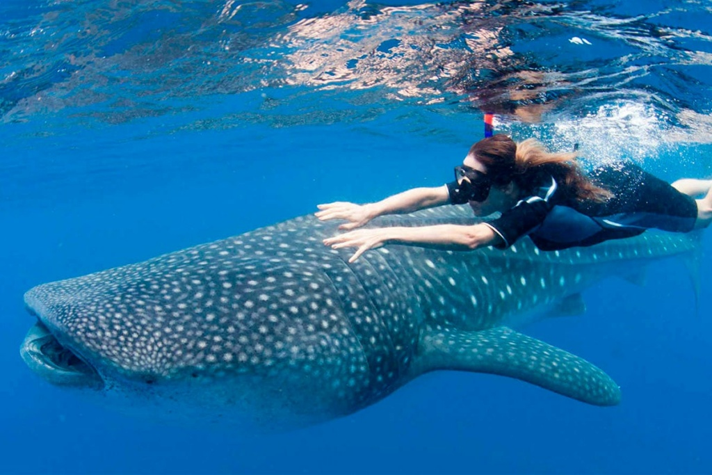 swim with the whaleshark in cancun